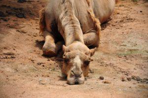 camel-993822_1920